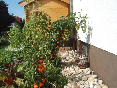 Tomatenschwemme