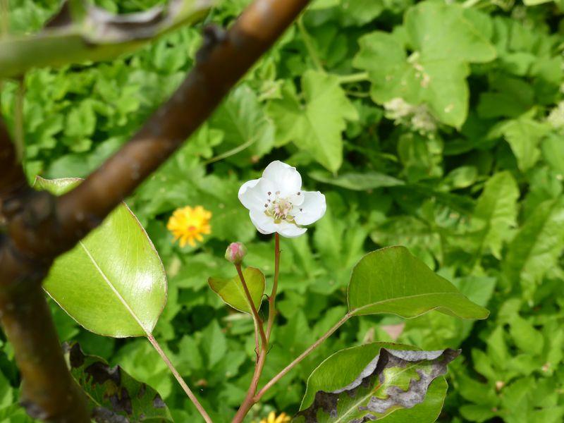 Birnenblüte im August